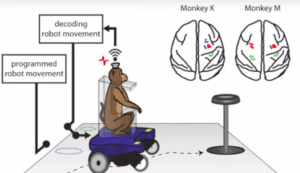 This image has an empty alt attribute; its file name is Monkey-Wheelchair-300x173.png