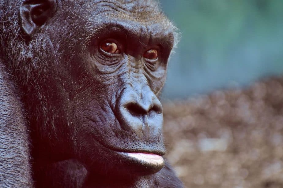 Fights during the The Gombe Chimpanzee War