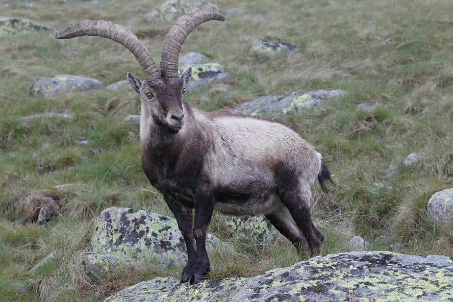 A male Iberian ibex standing on a rock