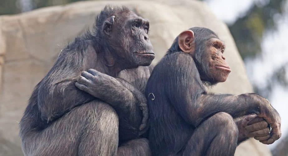 Two Chimpanzee sitting