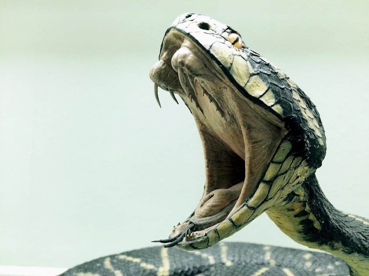 Cobra with open mouth